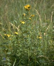 Fiore di iperico dove si trova fare di una mosca for Arredo ingross 3 dove si trova